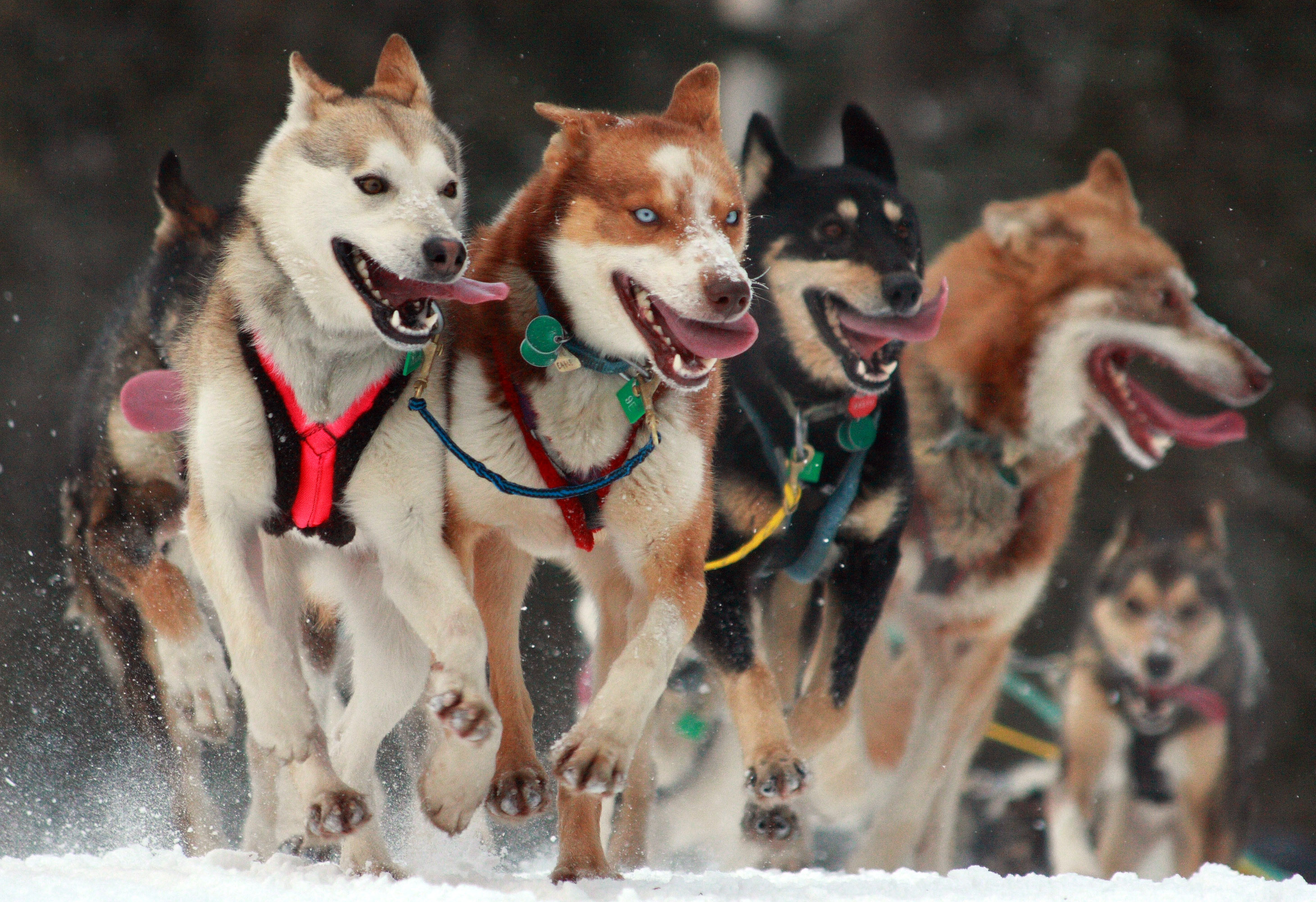 The Iditarod: Alaska's Grand Event